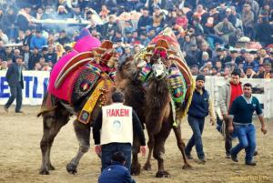 Lucha camellos