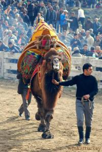Camel entering the fight area