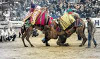 Camellos peleando