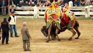 Camellos luchando.