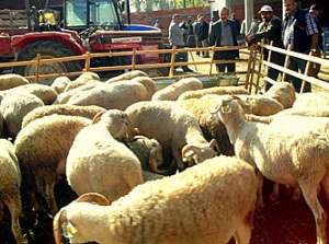 lambs for sale in cattle market