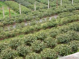 Plantas de té