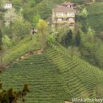 Los campos de té del MarNegro.