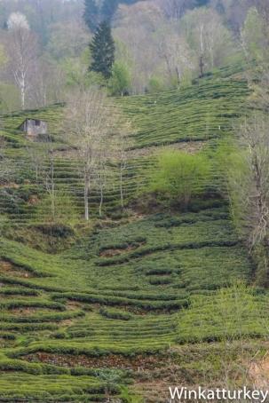 Campos de té